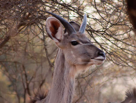 streight: Young Kudu Bull with Still Streight Small Horns
