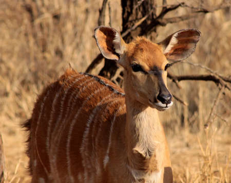 Close-up Picture of a Young Female Njala in the Bushveld photo