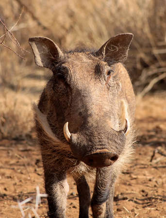 Close-Up Picture of a Bushveld Warthog Male Face Reklamní fotografie