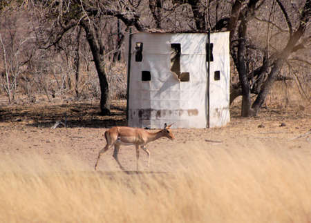 hideout: Bow Hunters Hideout with Impala Walking Past Stock Photo