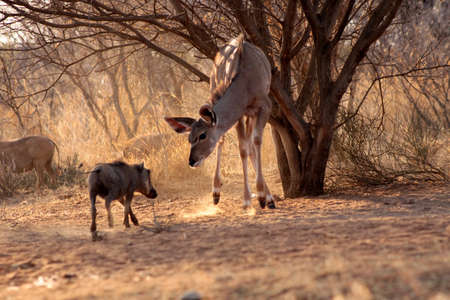 gracious: Young Kudu Ewe Standoff with Pushy Warthog