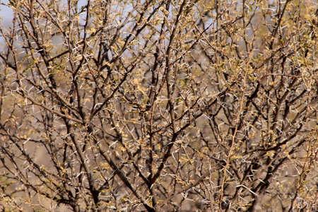 thorn bush: Bushveld Thorn Bush Branches with Large White Thorns