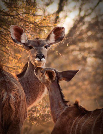 Rare Tender Moment Between Mother Kudu Ewe and Calf photo