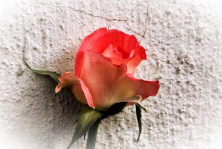 wallflower: Abstract Hazy Beautiful Little Orange Rose as Wallflower