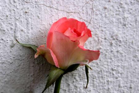 wallflower: Abstract Beautiful Little Orange Rose as Wallflower Stock Photo