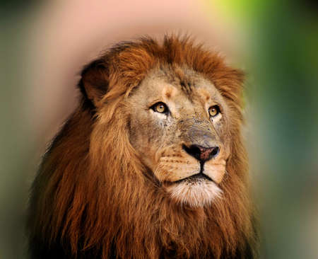 Royal King Lion with Majestic Face and Sharp Bright Eyes 版權商用圖片