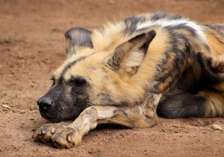 taking nap: African Wild Dog Also Known As Cape Hunting Dog Taking Afternoon Nap