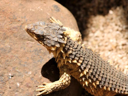 Close-up of Sungazer Lizard Basking in the Sharp Sun Stock Photo - 16131212