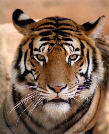 expressive face: Close-up Picture Tigers Face with Slightly Open Mouth