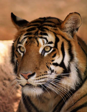 Close-up of Tiger Face with Focussed Expression