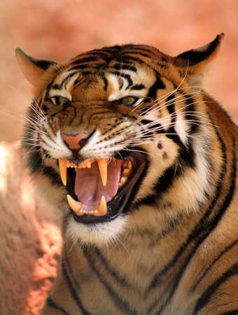 angry cat: Picture of a Very Angry Growling Tiger  PMS Look