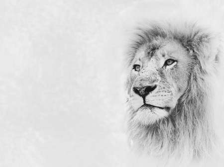 Black and White Image of Lion Face on Card Banner photo