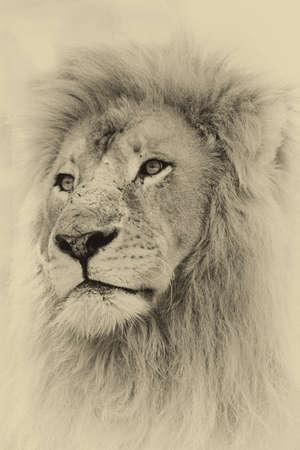 animal in the wild: Imagen Sepia de la cara del león Foto de archivo