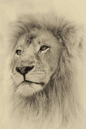 animals in the wild: Sepia Toned Image of a Lion Face Stock Photo