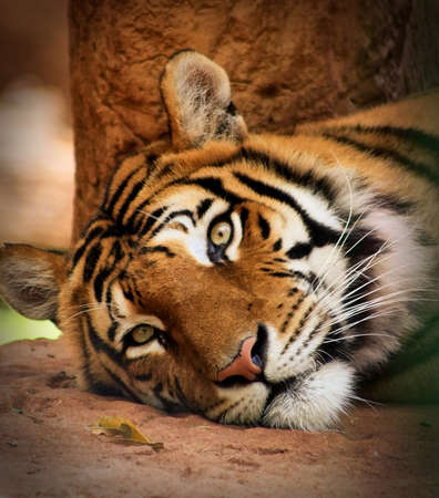 woken: Portrait of Woken Tiger with Killer Look  Stock Photo