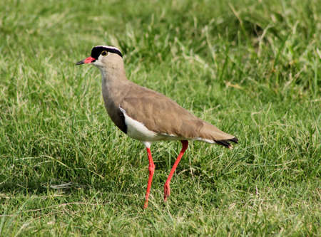 bright eyed: Bright Eyed Crowned Plover Lapwing Bird on Grass
