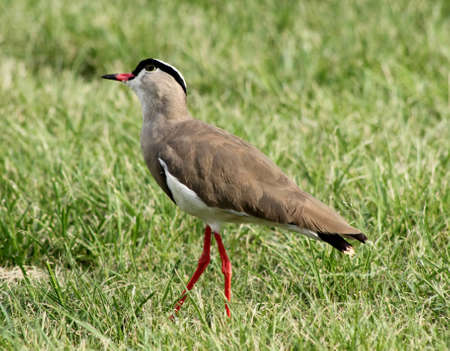bright eyed: Bright Eyed Crowned Plover Lapwing Bird on Grass Looking Warily Into Sky