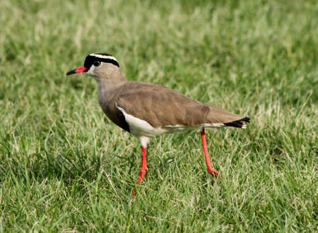 bright eyed: Bright Eyed Crowned Plover Lapwing Bird on Grass with Extended Leg