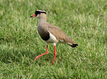 bright eyed: Bright Eyed Crowned Plover Lapwing Bird on Grass Leg Forward