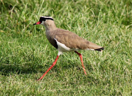bright eyed: Bright Eyed Crowned Plover Lapwing Bird on Grass Walking Stock Photo