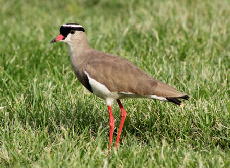 bright eyed: Bright Eyed Crowned Plover Lapwing Bird on Grass Focussed Stock Photo