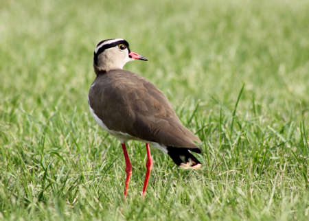 bright eyed: Bright Eyed Crowned Plover Lapwing Bird on Grass Looking Back
