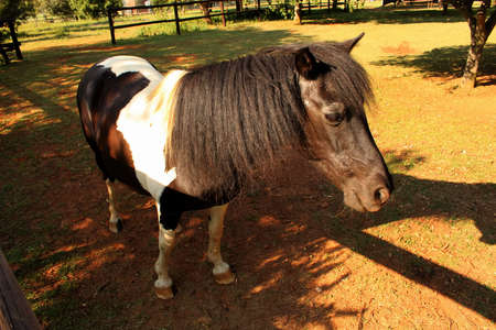 Black and White Colored Pony in Camp Stock Photo - 17732446