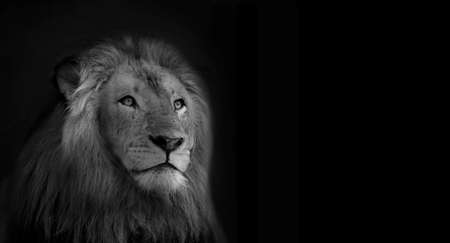 Black and White Isolated Lion Face Card photo