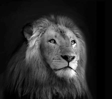 of lions: Cara aislada del le�n en blanco y negro Retrato VB Vectores