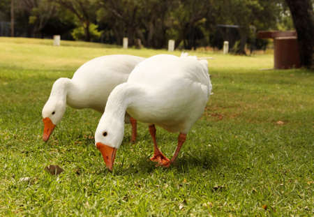 Picture of Two Geese Busy Eating Grass