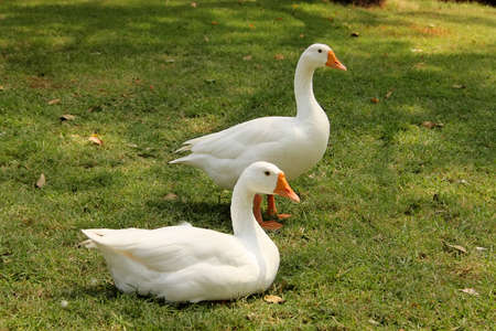 Two Geese Sit and Stand Pose for Portrait Photo