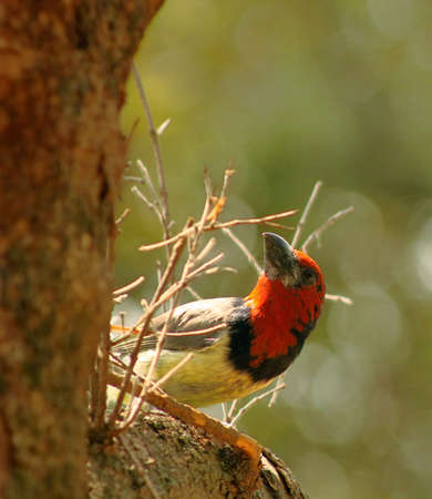 Backlit Black Collared Barbet Looking Up at Nest Stock Photo - 18968366