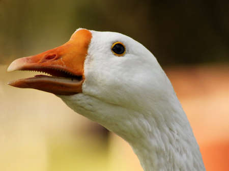 goose head: Striking Picture of a Goose Head with Open Beak Close-up