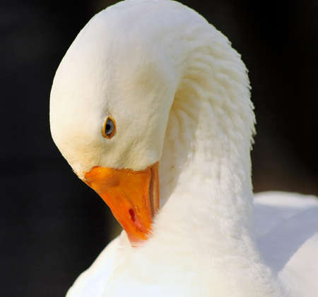 arched neck: Close-up Picture of Grooming Goose Head
