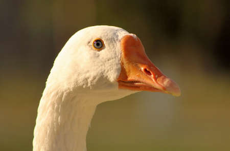 Goose Head with Striking Bright Grey Eyes Close-up