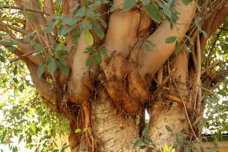 pervasive: Picture of an Invasive Parasite Plant on Large Tree