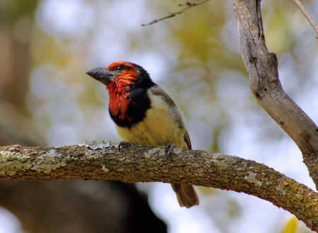 Picture of the Colorful Black Collared Barbet Bird on Branch Stock Photo - 18955080