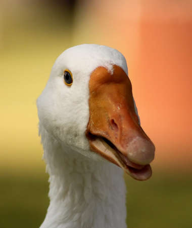 goose head: Striking Picture of a Goose Head with Open Beak Tongue Close-up Stock Photo