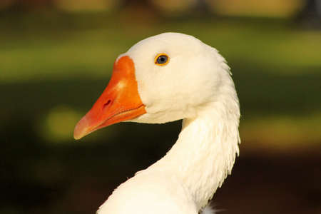 arched neck: Striking Close-Up Picture of a Goose Head Stock Photo