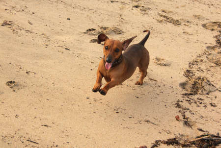 Lovely Picture of Little Miniature Dachshund Running On Beach photo