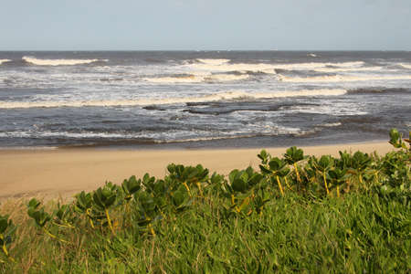 kwazulu natal: Picture of Coastal Succulents Beach and Sea Stock Photo