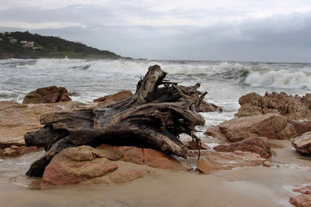 beachfront: Picture of Large Wood Stump on Stormy Beachfront