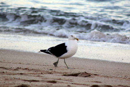 beachfront: Picture of Seagull Patrolling Down Beachfront Searching for Food