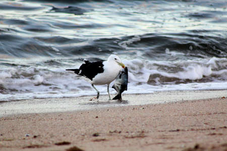 scavenge: Picture of Seagull Walking with Fish in Beak Stock Photo
