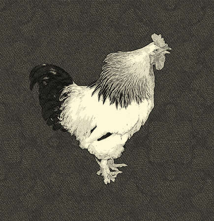 crowing: Drawing Isolation of a Black and White Crowing Cock Stock Photo