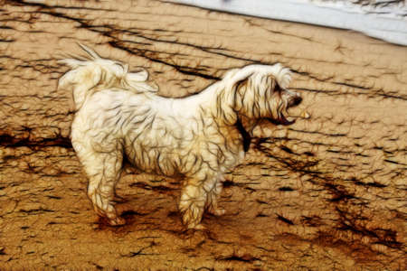 maltese: Close-up Picture of Tired Maltese Dog on Beach Stock Photo