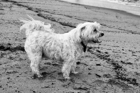maltese dog: Black and White Picture of Maltese Dog on Beach  Stock Photo