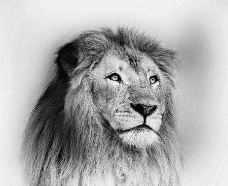 vintage portrait: Striking Black and White Lion Face Portrait  Stock Photo