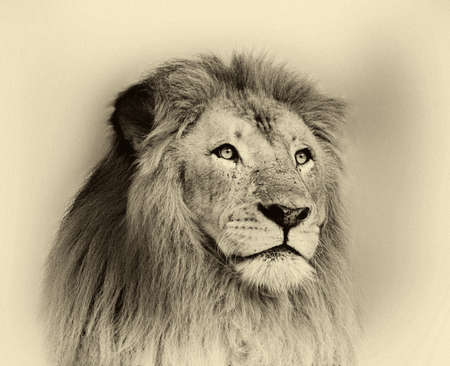Sepia Toned Black and White Striking Lion Face Portrait  photo