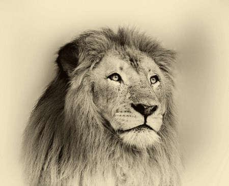 lion face: Sepia Toned Black and White Striking Lion Face Portrait